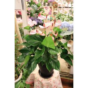18・NEW・アンスリウム・その他観葉植物 ミスティーク7号ラッピング込|morinouen-store
