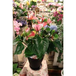 18・アンスリウム・その他観葉植物 サマーラブ7号ラッピング込|morinouen-store