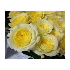 18・NEW・バラ苗・切り花品種接ぎ木 SPアルモニ2〜3号ポット