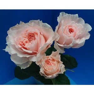 18・NEW・バラ苗・切り花品種接ぎ木 フロウ2〜3号