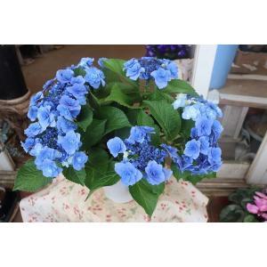 19・アジサイ 深海の色ブルー5号鉢|morinouen-store