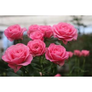 19・NEW・バラ苗・切り花品種接ぎ木 SPバンビーナビーナス2〜3号|morinouen-store