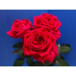19・NEW・バラ苗・切り花品種接ぎ木 イオ2〜3号|morinouen-store
