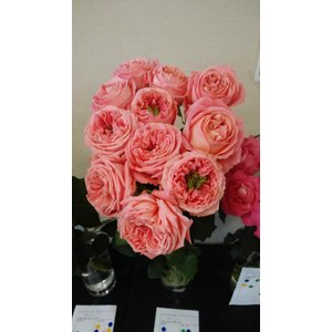19・NEW・バラ苗・切り花品種接ぎ木 kn26−20 2〜3号|morinouen-store