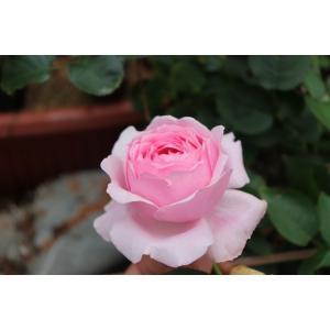 19・NEW・バラ苗・切り花品種接ぎ木 kn29−127 2〜3号|morinouen-store