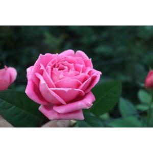 19・NEW・バラ苗・切り花品種接ぎ木 kn29-42 2〜3号|morinouen-store