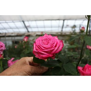 19・NEW・バラ苗・切り花品種接ぎ木 kn30−164パープル2〜3号|morinouen-store