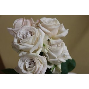 19・NEW・バラ苗・切り花品種接ぎ木 kn30−1 2〜3号|morinouen-store