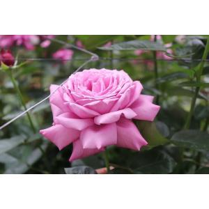 19・NEW・バラ苗・切り花品種接ぎ木 kn30-30パープルピンク2〜3号|morinouen-store