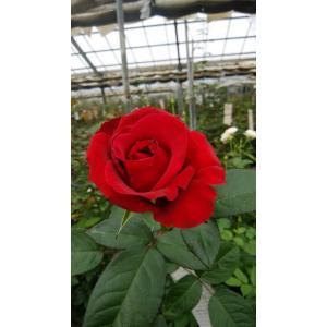 19・NEW・バラ苗・切り花品種接ぎ木 kn30-70レッド2〜3号|morinouen-store