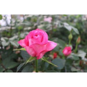 19・NEW・バラ苗・切り花品種接ぎ木 プリンセスメグ濃いピンク2〜3号|morinouen-store
