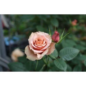 19・NEW・バラ苗・切り花品種接ぎ木 SPセレスト2〜3号|morinouen-store