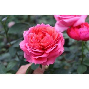 19・NEW・バラ苗・切り花品種接ぎ木 シャンスレッド2〜3号|morinouen-store