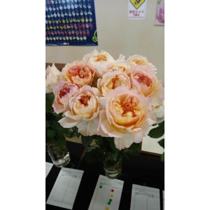 19・NEW・バラ苗・切り花品種接ぎ木 シュルーク2〜3号|morinouen-store