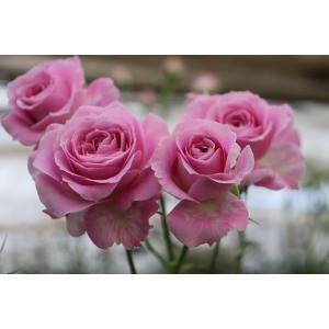 19・NEW・バラ苗・切り花品種接ぎ木 sp-kn30-140 2〜3号|morinouen-store