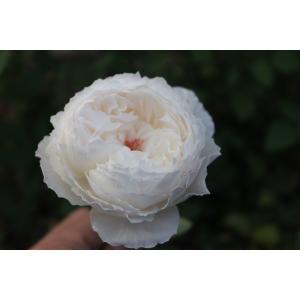 19・NEW・バラ苗・切り花品種接ぎ木 spトワクリームラブ2〜3号|morinouen-store