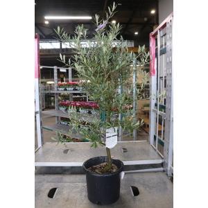 オリーブの木(オリーブ苗木) バロウニ8号鉢(A1〜A12番)|morinouen-store