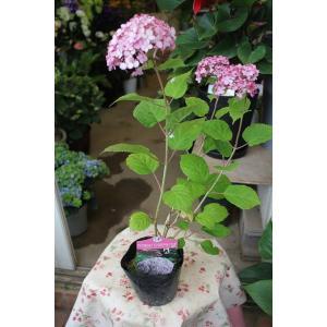 新品種 16・アナベル(苗) ピンクアナベル ジャンボ《PVP》 4号ポット