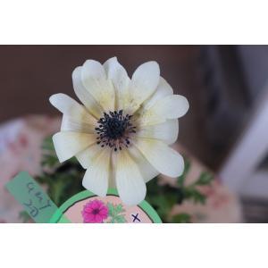 アネモネ(苗)現品(20番) 横山さんのアネモネ・パブニナ3.5号ロングポット|morinouen-store