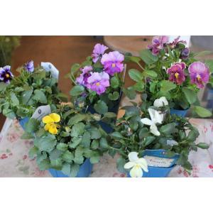 育種家さんのビオラ(ビオラ苗) ヌーヴェルヴァーグ A36〜40 3.5号鉢|morinouen-store