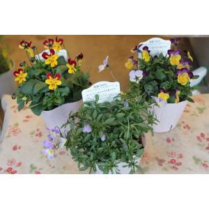 育種家さんのビオラ(ビオラ苗) 植田のビオラmix C26〜28 3.5号ポット|morinouen-store