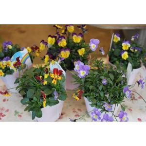育種家さんのビオラ(ビオラ苗) 植田のビオラmix C21〜25 3.5号ポット|morinouen-store