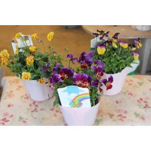 育種家さんのビオラ(ビオラ苗) 植田のビオラmix C29〜31 3.5号ポット|morinouen-store