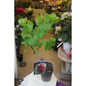 最新品種 ブドウ苗木 クィーンニーナ5号ポット挿し芽苗|morinouen-store