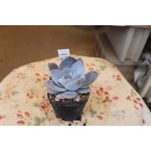 エケベリア(多肉植物・サボテン) カンテ2.5号|morinouen-store