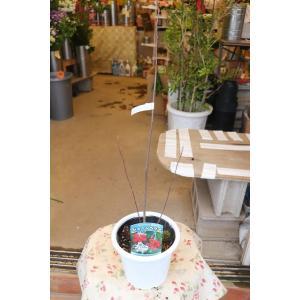ジューンベリー(苗・苗木) ラ・マルキー5号鉢|morinouen-store