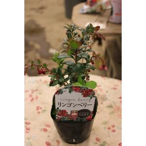 コケモモ(苗・苗木) リンゴベリー(耐暑性品種)3号ポット|morinouen-store
