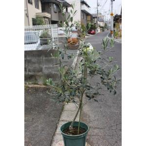オリーブの木(オリーブ苗木) アスコラーナ・テネラ8号鉢|morinouen-store