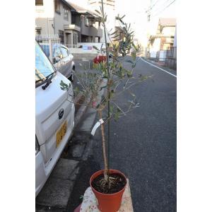 新品種 オリーブの木(オリーブ苗木) ブガ(接ぎ木) バック6号鉢