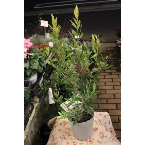 オリーブの木(オリーブ苗木) ひなかぜ5号鉢|morinouen-store