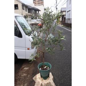 オリーブの木(オリーブ苗木) ジャンボカラマタ8号鉢|morinouen-store
