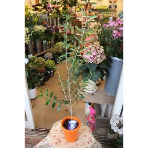 オリーブの木(オリーブ苗木) マンザニロ4号鉢|morinouen-store