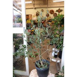 オリーブの木(オリーブ苗木) 大実モライオロ8号鉢|morinouen-store