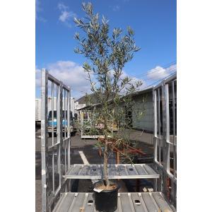 オリーブの木(苗・苗木) セビラノ8号鉢(19番、20番)|morinouen-store
