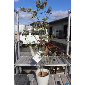 オリーブの木(苗・苗木) ワラサ7号鉢(3番、4番)|morinouen-store