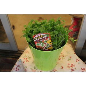 パクチー(チャンツァイ・香菜・コリアンダー・苗)5号鉢 morinouen-store