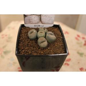 リトープス (3) 3号鉢|morinouen-store