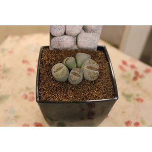 リトープス (5) 3号鉢|morinouen-store