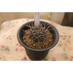 サボテン Gymnocalycium 二グラム3号鉢|morinouen-store