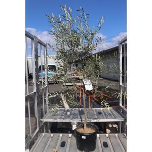 オリーブの木(苗・苗木) セビラノ8号鉢(8〜14番)|morinouen-store