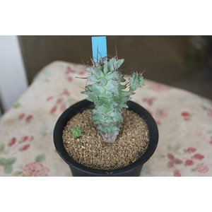 18/1/29up  育てていくうちに味わいが出てきます。 寄せ植えでも面白いですね。 ユーフォルビ...