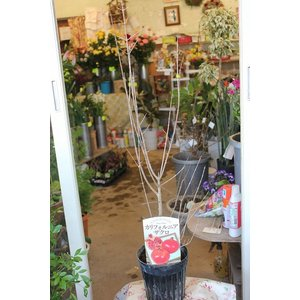 ザクロ(苗木) カリフォルニアザクロ5号鉢|morinouen-store