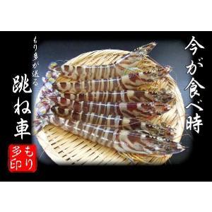 くるまえび、天然 活 車海老 (クルマエビ)(13〜25尾・500g入)|morita