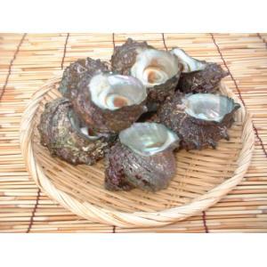 さざえ、玄海灘産 活 サザエ 2kg(14〜20ヶ)|morita