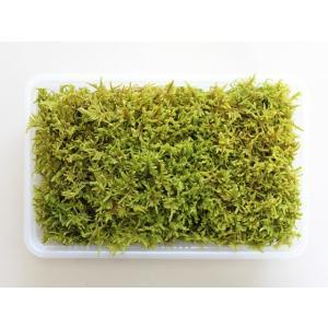 美しいモスグリーンの苔です。<br> ハイゴケは横に這うのでハイゴケの名があります。湿っ...