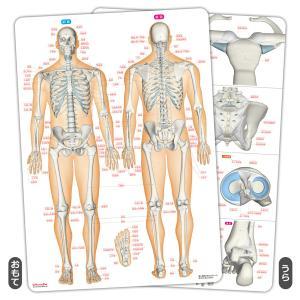 【アウトレット】骨と関節まるわかりシート|muscle